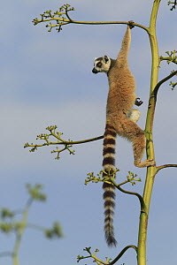 Ring-tailed Lemur (Lemur catta) climbing Aloe (Aloe vahombe) to feed on flowers, vulnerable, Berenty Private Reserve, Madagascar - Cyril Ruoso