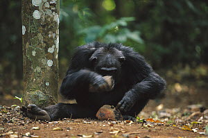 Chimpanzee (Pan troglodytes) using two rocks as tools to crack a nut, Guinea - Cyril Ruoso