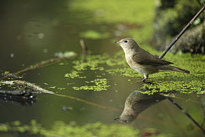 Garden Warbler (Sylvia borin) standing in water, France  -  Cyril Ruoso