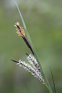 Variegated Greater Pond Sedge (Carex riparia) flowering, France  -  Cyril Ruoso