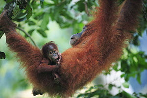Sumatran Orangutan (Pongo abelii) mother and young, Gunung Leuser National Park, Sumatra, Indonesia - Cyril Ruoso