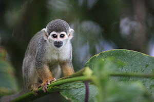 South American Squirrel Monkey (Saimiri sciureus) portrait, Peru  -  Cyril Ruoso