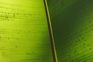 Banana (Musa sp) leaf detail with water drops, Peru - Cyril Ruoso