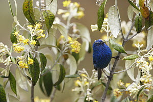 Blue-and-black Tanager (Tangara vassorii) at 4500 meters, Cordillera Blanca Mountain Range, Andes, Peru  -  Cyril Ruoso