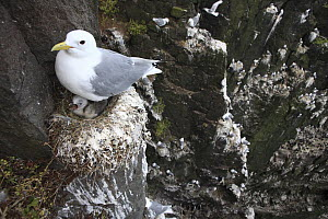 Black-legged Kittiwake (Rissa tridactyla) female on nest with young, Latrabjarg Cliff, West Fjords, Iceland - Cyril Ruoso