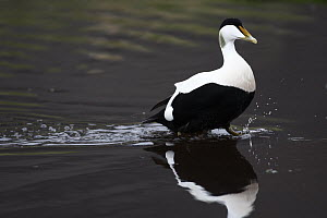 Common Eider (Somateria mollissima) male wading through water, West Fjords, Iceland  -  Cyril Ruoso