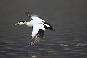 Common Eider (Somateria mollissima) male flying, West Fjords, Iceland  -  Cyril Ruoso