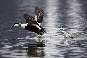 Common Eider (Somateria mollissima) male taking off, West Fjords, Iceland  -  Cyril Ruoso