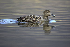 Common Eider (Somateria mollissima) female, West Fjords, Iceland  -  Cyril Ruoso