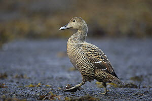 Common Eider (Somateria mollissima) female walking, West Fjords, Iceland  -  Cyril Ruoso