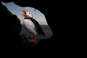 Atlantic Puffin (Fratercula arctica) calling in front of den, Latrabjarg Cliff, West Fjords, Iceland  -  Cyril Ruoso