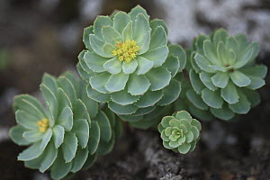 Roseroot Stonecrop (Rhodiola rosea), Snaefell Nature Reserve, Iceland - Cyril Ruoso