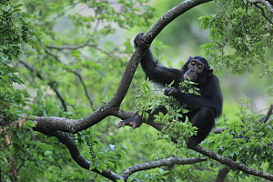 Eastern Chimpanzee (Pan troglodytes schweinfurthii) eating leaves, Gombe National Park, Tanzania - Cyril Ruoso