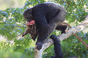 Eastern Chimpanzee (Pan troglodytes schweinfurthii) , Frodo the dominant male and hunter, with a Red River Hog (Potamochoerus porcus) piglet carcass, Gombe National Park, Tanzania  -  Cyril Ruoso