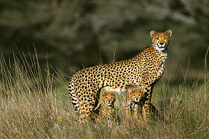 Cheetah (Acinonyx jubatus) alert female standing over her two three month old cubs, Phinda Game Reserve, South Africa - Richard Du Toit