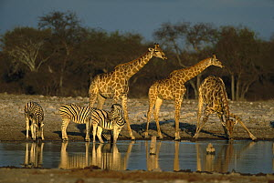 Southern Giraffe (Giraffa giraffa) and Burchell's Zebra (Equus burchellii) at water hole, Khwai River, Botswana  -  Richard Du Toit