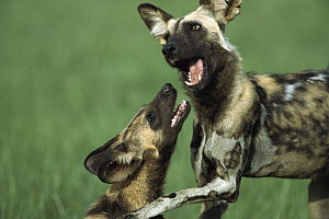 African Wild Dog (Lycaon pictus) pair playing, Chobe National Park, Botswana  -  Richard Du Toit