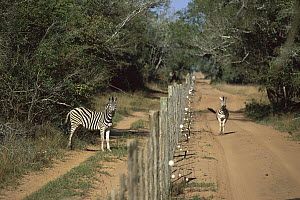 Burchell's Zebra (Equus burchellii) two separated by a fence, Phinda Game Reserve, South Africa - Richard Du Toit