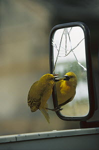 Golden Weaver (Ploceus xanthops) fighting with its own reflection in car mirror, Linyanti River, Botswana  -  Richard Du Toit