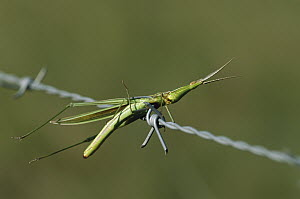 Insect impaled on barbed wire, Mpumalanga, Highveld, South Africa - Richard Du Toit