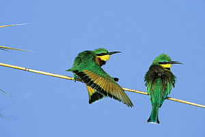 Little Bee-eater (Merops pusillus) pair perching on branch, Kasai Channel, Caprivi Strip, Namibia - Richard Du Toit