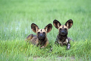 African Wild Dog (Lycaon pictus) pair laying in green grass of summer, endangered, Savuti, Chobe National Park, Botswana - Richard Du Toit
