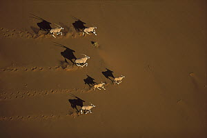 Gemsbok (Oryx gazella) running, Namib-Naukluft National Park, Namibia  -  Richard Du Toit