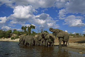 African Elephant (Loxodonta africana) group in the Chobe River, Botswana  -  Richard Du Toit