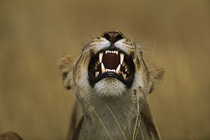 African Lion (Panthera leo) female growling, Masai Mara National Reserve, Kenya  -  Richard Du Toit