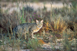 African Wild Cat (Felis lybica) crouching in the grass, Kalahari, South Africa  -  Richard Du Toit
