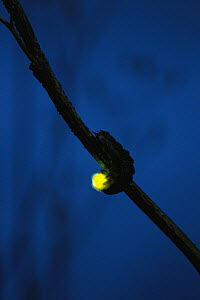 Douglas Fir Glow-worm (Pterotus obscuripennis) displaying bioluminescence at night, Tillamook State Forest, Oregon - Michael Durham