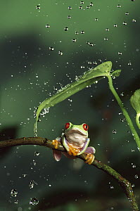Red-eyed Tree Frog (Agalychnis callidryas) in rain, native to Central and South America  -  Michael Durham