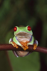 Red-eyed Tree Frog (Agalychnis callidryas) portrait, native to Central and South America - Michael Durham