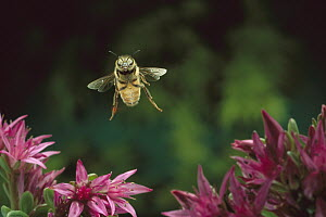 Honey Bee (Apis mellifera) flying, Sauvie Island, Oregon  -  Michael Durham