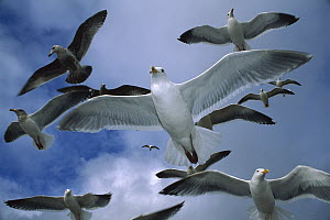 Western Gull (Larus occidentalis) flock flying over the Oregon coast - Michael Durham