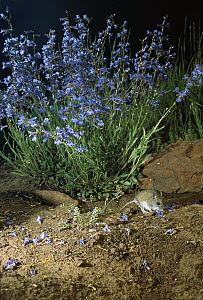Western Harvest Mouse (Reithrodontomys megalotis) foraging on delphinium flowers at night at the Nature Conservancy Zumwalt Prairie Reserve, Oregon  -  Michael Durham