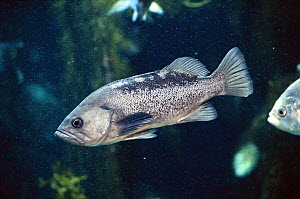 Black Rockfish (Sebastes melanops), native to the Pacific coast of North America, commercial species often sold as Snapper  -  Michael Durham