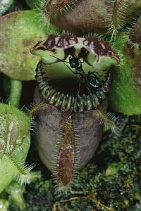Albany Pitcher Plant (Cephalotus follicularis) insectivorous plant with ant on edge of pitcher, native to the southern coast of Western Australia - Michael Durham