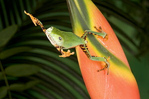 Tiger-striped Leaf Frog (Phyllomedusa tomopterna) or Barred Leaf Frog, jumping from a colorful Heliconia flower, native to South America, Surinam, Guyana, Brazil - Michael Durham