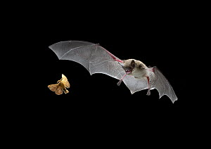 Little Brown Bat (Myotis lucifugus) pursues a forest moth, the mouth is open to allow the bat to echolocate when a moth is caught, it is scooped up in the wing and then delivered to the mouth, digital...  -  Michael Durham