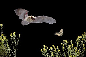 Western Pipistrelle (Pipistrellus hesperus) bat chases a moth over desert scrub, near Pine Creek in the John Day Fossil Beds National Monument, Clarno Unit, Oregon  -  Michael Durham