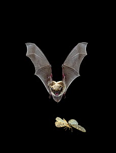Yuma Myotis (Myotis yumanensis) bat, female pursuing a moth on the wing, Oregon  -  Michael Durham