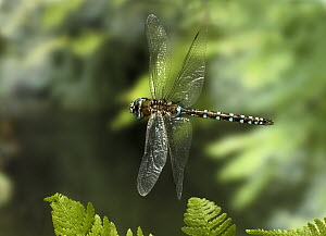 California Darner (Rhionaeschna californica) dragonfly, photographed with a high-speed camera, coastal mountains, Oregon - Michael Durham