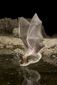 Western Long-eared Myotis (Myotis evotis) about to drink from a man-made guzzler, high-desert transition zone in the Deschutes National Forest, Oregon  -  Michael Durham