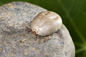 Sheep Tick (Ixodes ricinus) female engorged after a blood meal, northeast Oregon  -  Michael Durham
