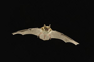 Fringed Myotis (Myotis thysanodes) bat flying at night, Coconino National Forest, Arizona  -  Michael Durham