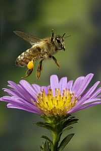 Honey Bee (Apis mellifera) with pollen baskets taking flight from garden flower - Michael Durham