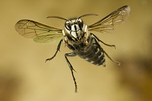 Bald-faced Hornet (Dolichovespula maculata) flying, western Oregon - Michael Durham