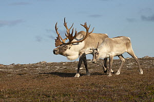 Woodland Caribou (Rangifer tarandus caribou) bull displaying to female, Newfoundland, Canada  -  Mark Raycroft