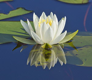 Fragrant Water Lily (Nymphaea odorata) flower, Onteora Lake, Catskill Mountains Park and Preserve, New York  -  Yva Momatiuk & John Eastcott